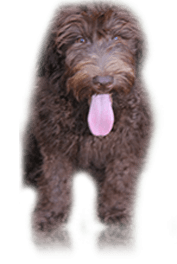 Labradoodles | Mid North Coast NSW | Doodle Dogs at Abbigail Lodge