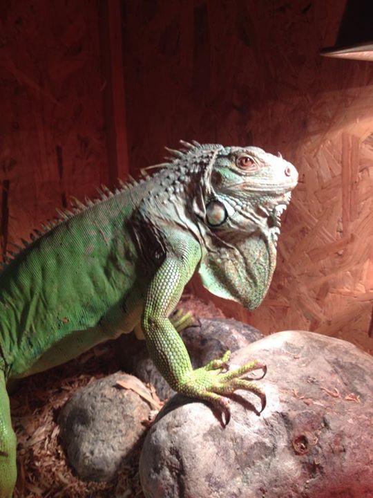 un'iguana