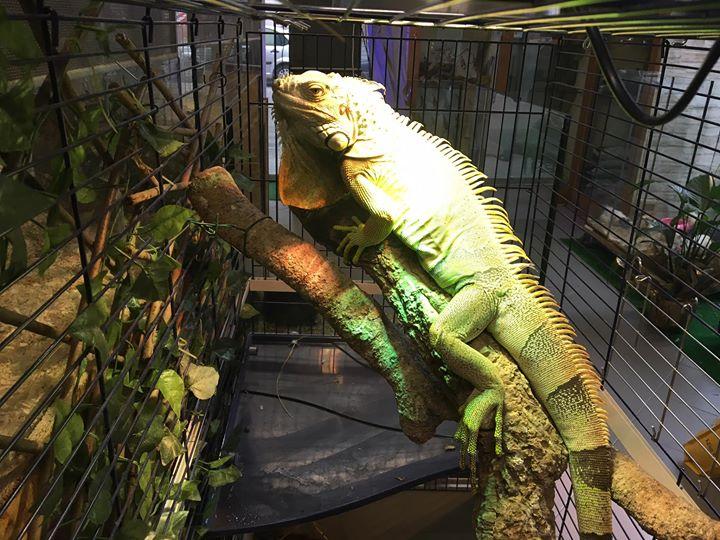 un'iguana in una gabbia