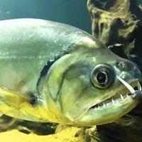 un pesce Payara