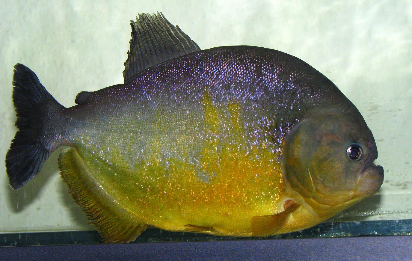 Piranha serrasalmus