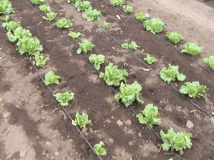 Lattuga piantata, con impianto di irrigazione a terra