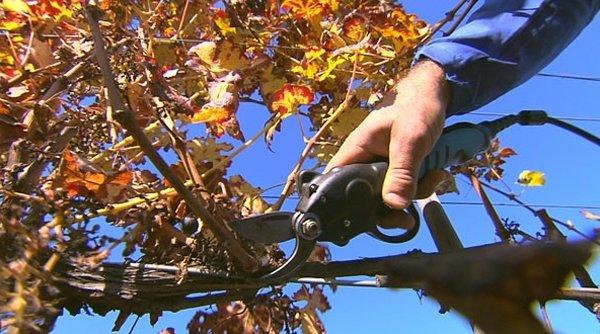 una mano che pota un ramo con una cesoia