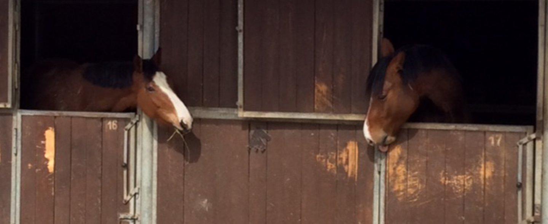due cavalli che mangiano fieno