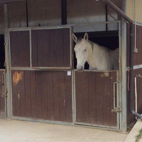 cavallo bianco nel box
