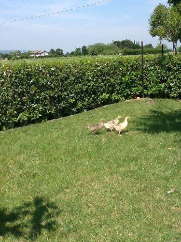 anatre in un giardino