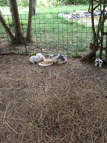conigli mentre mangiano
