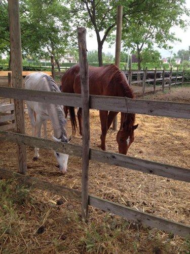cavalli dentro un recinto