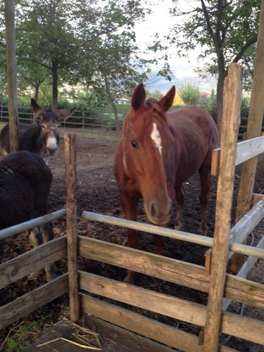 cavalli ed asini
