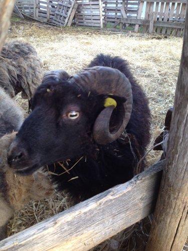 capra nera con le corna dentro un recinto