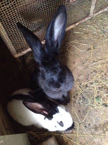 due conigli