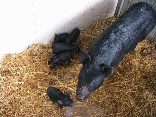 maiale nero con piccoli su del fieno