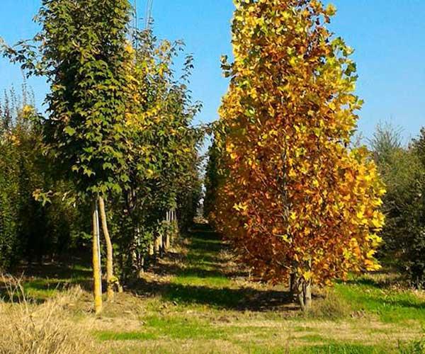 un campo con alberi con foglie verdi e gialle a Candiana in provincia di Padova