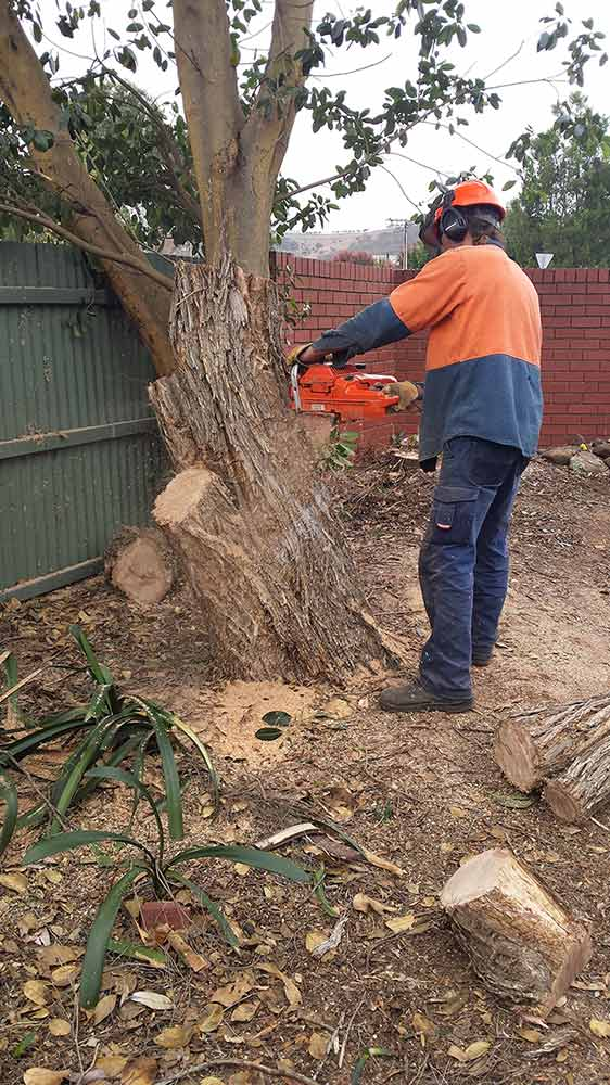 all tree and stump removal worker cutting down a large tree