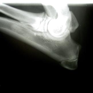 Osteomielite gomito labrador