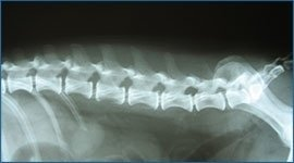 radiografie veterinarie