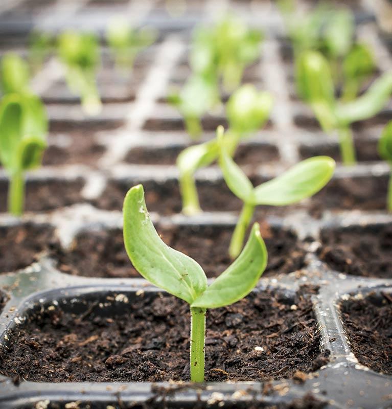 dempsters seed grading seedling growing