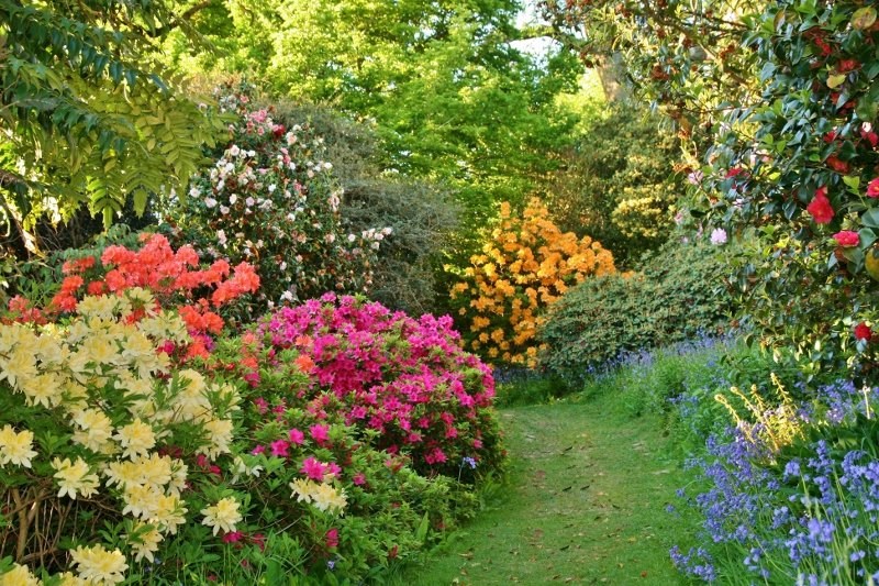Sussex rhododendrons
