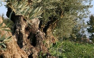 vendita piante di olivo