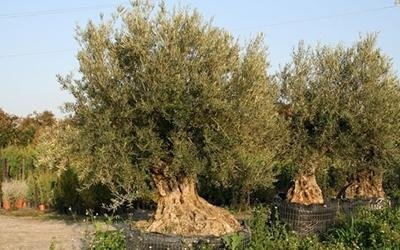 vendita olive da olio