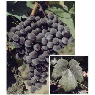Barbatelle da vino