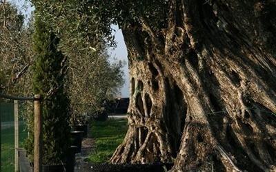 olivo Toscana