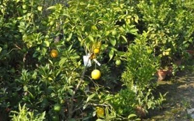 piante da frutto Pisa