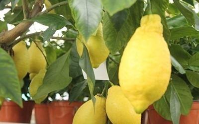 piante di limoni Pisa
