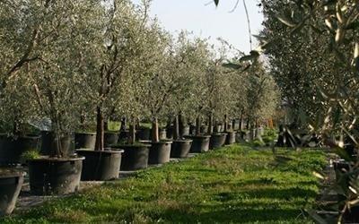 trattamenti per olive