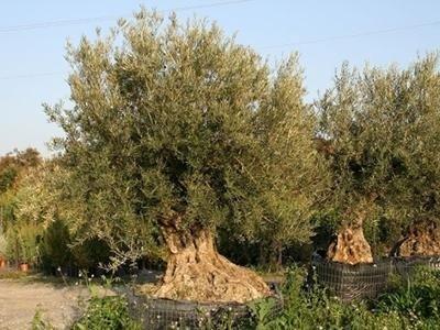 piante secolari