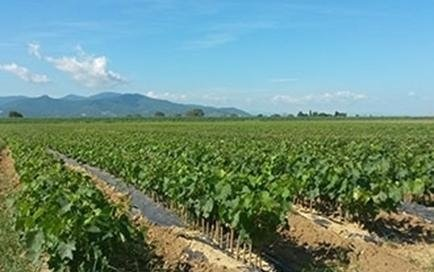 coltivazione viti