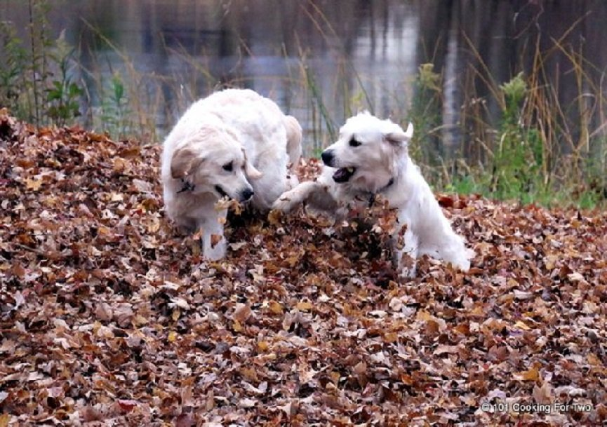 Dogs-in-Leaves-b