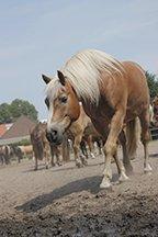 Wat eten pony's?