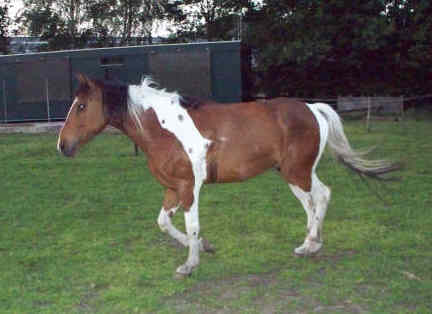 Favoriete pony Bert paardentaal