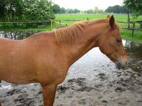 Oude pony