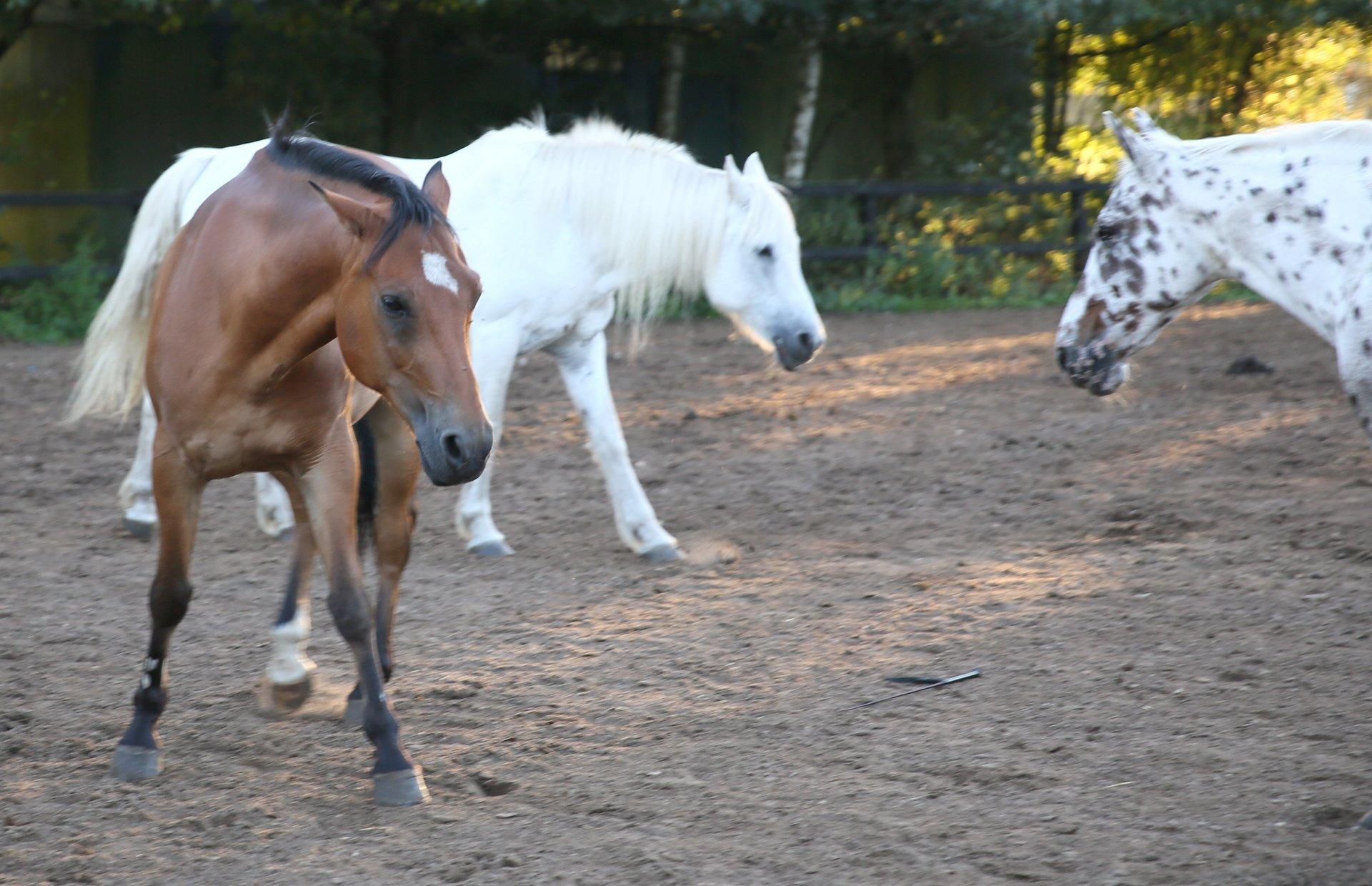 Manege pony Merwin dreigend met de oren in de nek