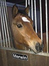Manege pony ontsnapt uit stal