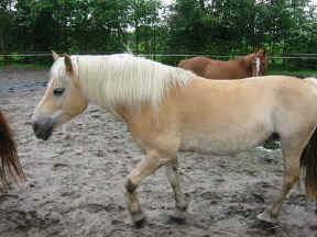 Manege haflingers pony Obelix