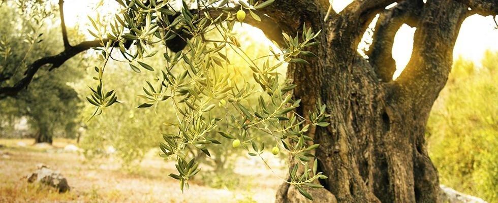 vendita piante secolari