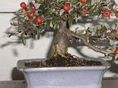 bonsai ornamentali