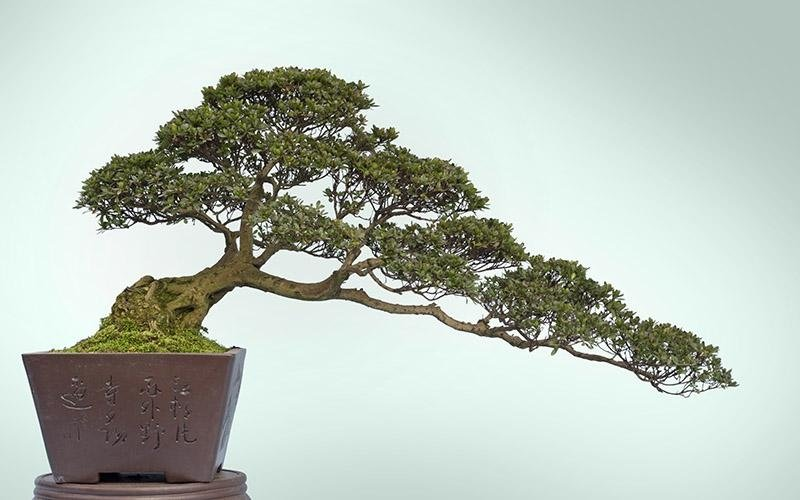 bonsai in provincia di Bari
