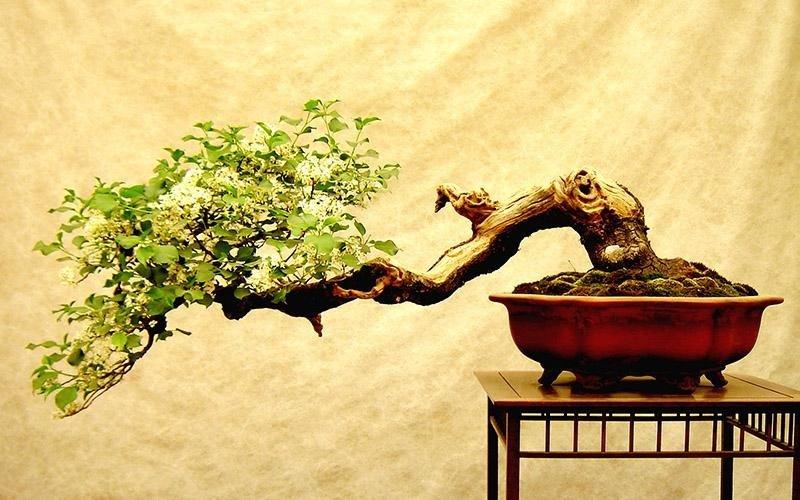 vendita bonsai bomboniera