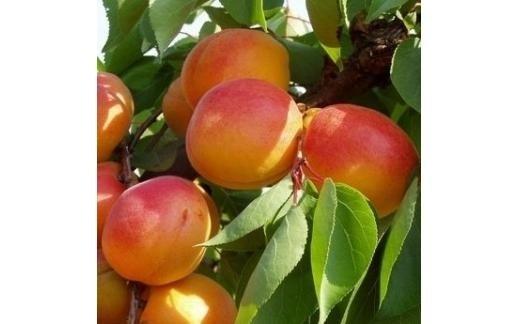 albero di albicocche