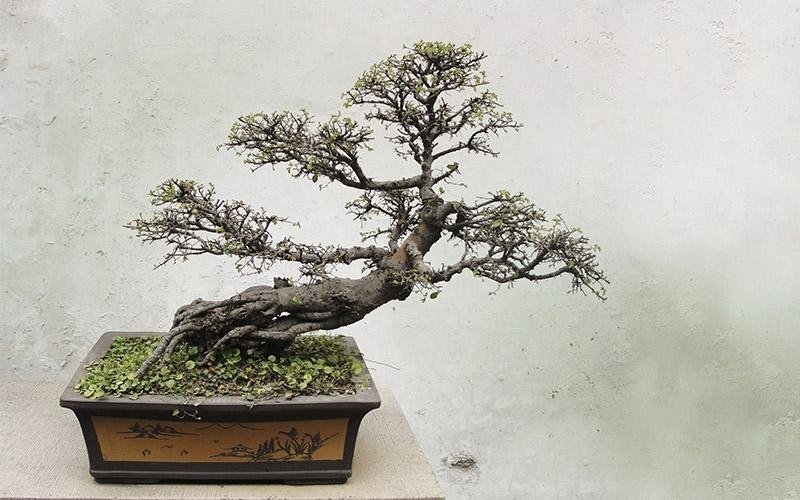 bonsai indee regalo