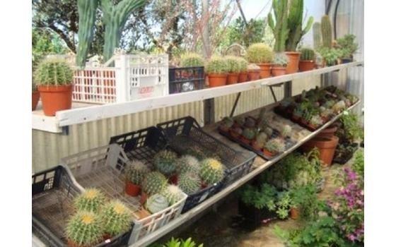 Cicas geranei tappeti erbosi piante grasse piante for Piante grasse ornamentali