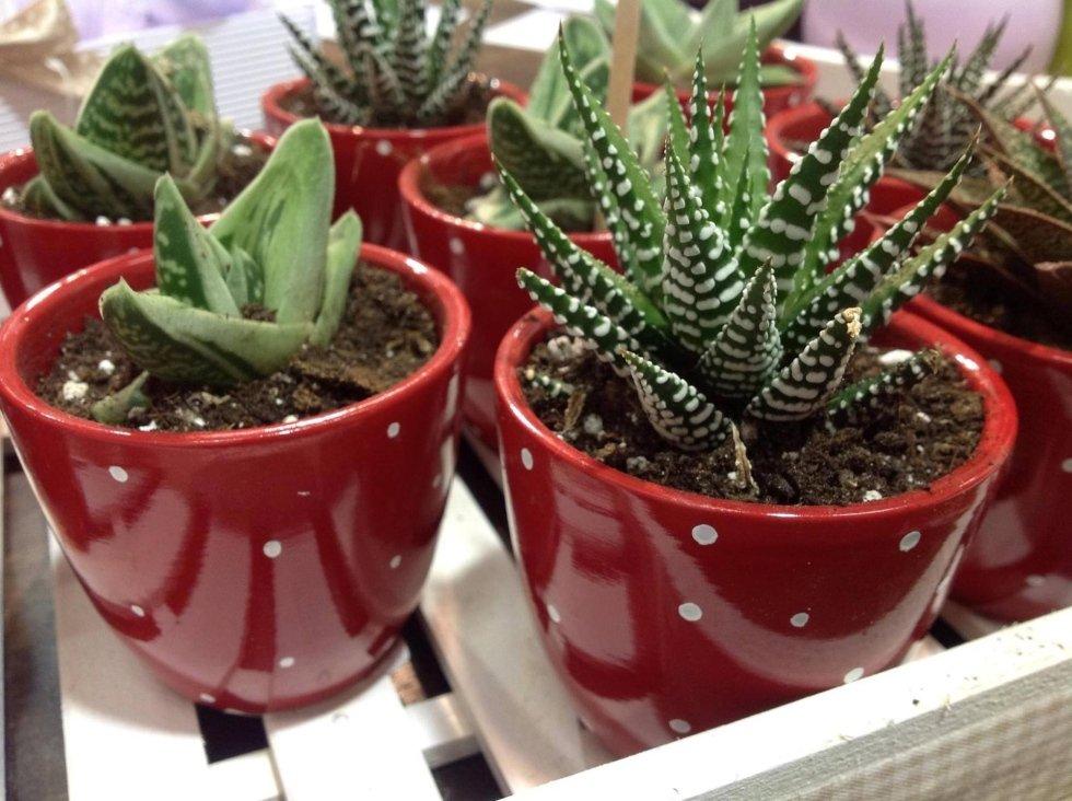 Cicas geranei tappeti erbosi piante grasse piante for Fiori ornamentali