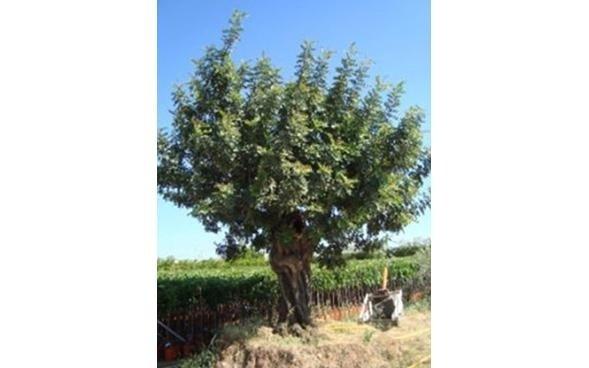 vivaio piante secolari
