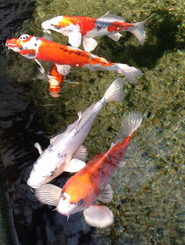Pond Fishes