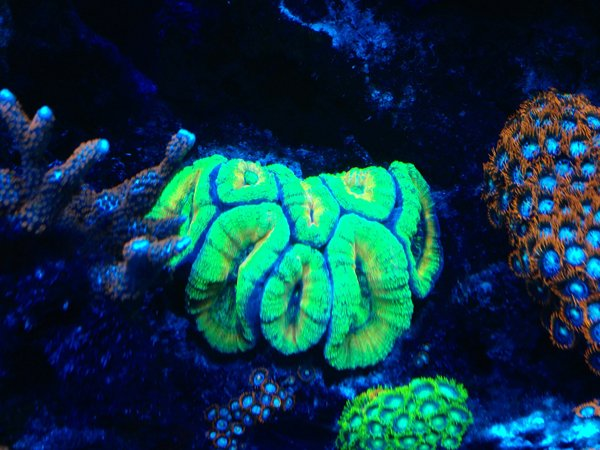 Green sea anemone