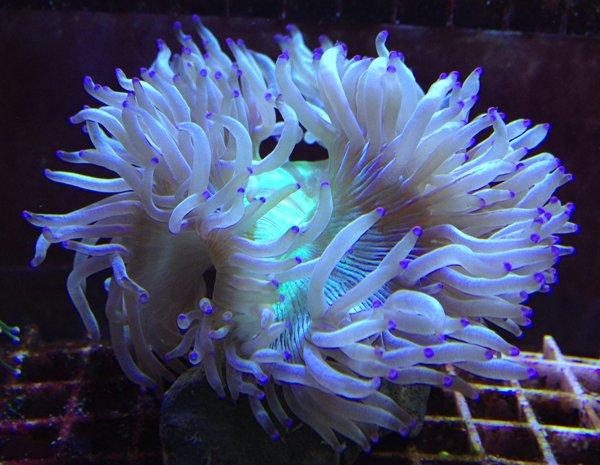 White and purple sea anemone